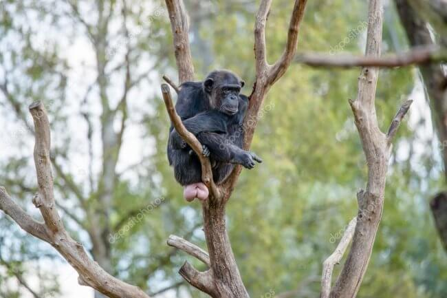 1563595443 depositphotos 63405699 stock photo chimpanzee in a tree